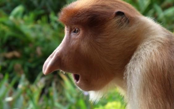 2020/03/02発【オランウータンとテングザルの東マレーシア】ボルネオ島の野生動物保護区群・       キナバル山国立公園とブルネイ王国の旅 10日間