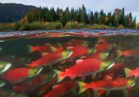 Fin.紅鮭の大遡上《ビックラン》とハクガン大飛来観賞 9日間◆催行決定間近 !◆
