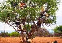 Column南モロッコの木登り山羊