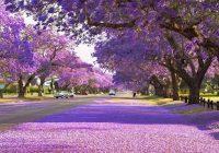 2019/10/24発ジャカランダの季節に訪ねるシドニーとグラフトンの旅 8日間