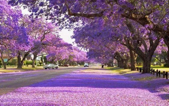Fin.ジャカランダの季節に訪ねるシドニーとグラフトンの旅 8日間
