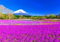 Fin.高遠のサクラと富士山麓の芝桜まつり 6 日間