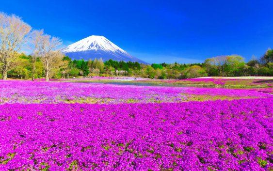 2020/04/12発高遠のサクラと富士山麓の芝桜まつり 6 日間