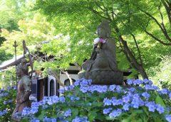 2021/06/21発 「明月院ブルー」鎌倉アジサイ巡りと 「アナベルの雪山」・水郷佐原あやめ祭りの旅 4日間